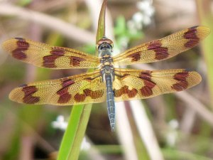 Dragon Fly - Mapleton