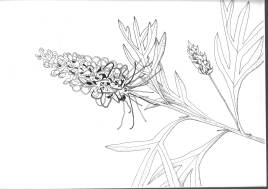 Grevillea 'Dorothy Gordon' Pen and ink $250 - shrink wrapped ready for framing