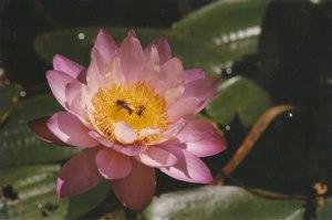 Nymphaea gigantea pink [Nymphyaea gigantea var. neorosa]