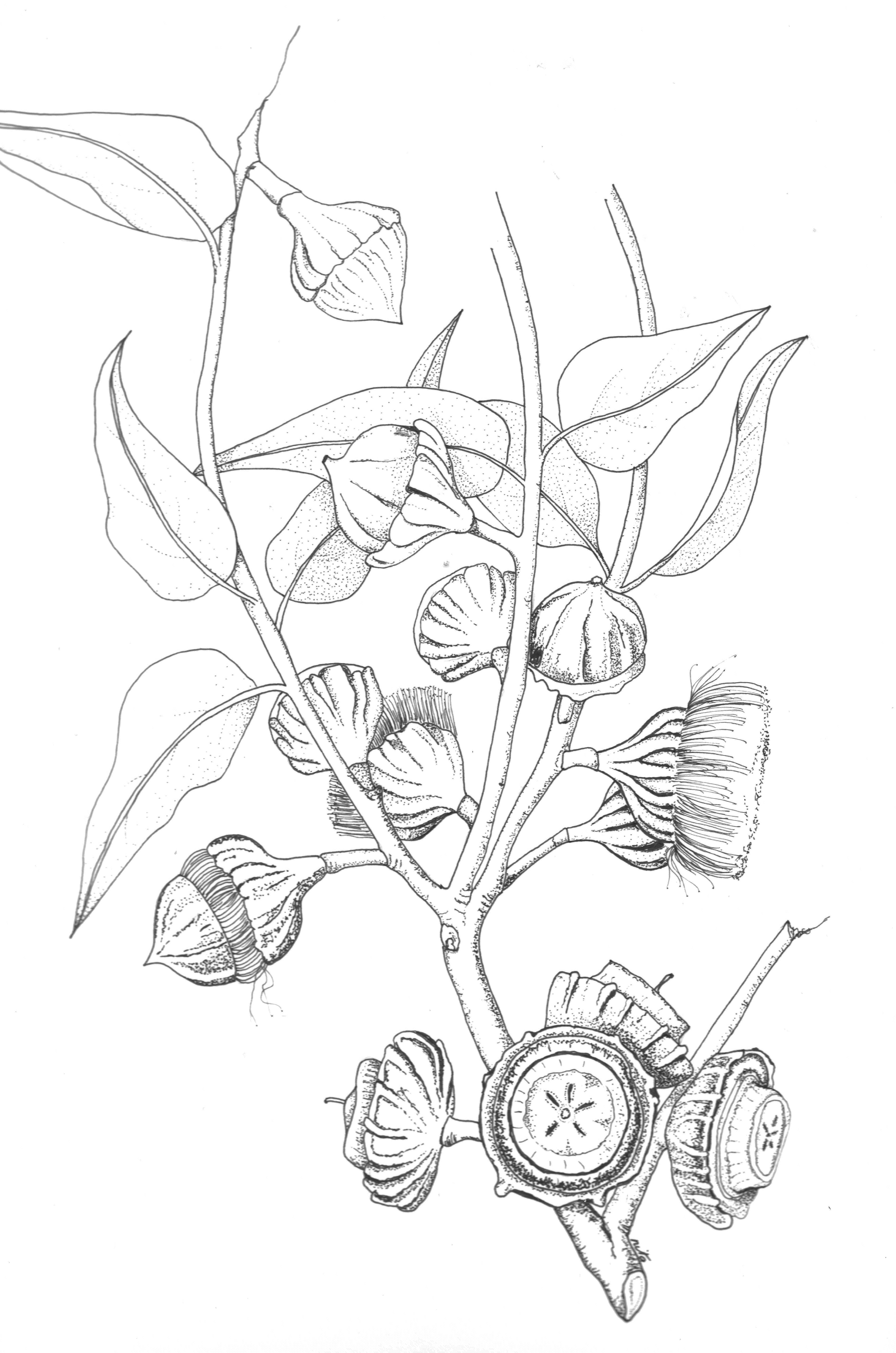 Botanical art coloring book - Eucalyptus Youngiana Pen And Ink Botanical Art 295 Shrink Wrapped Ready For Framing