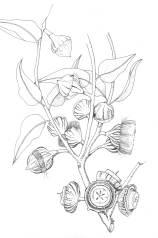Eucalyptus youngiana Pen and ink botanical art